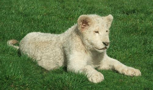 White lion cub by it happens