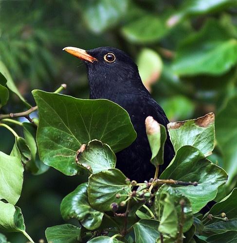 hiding blackbird by paul_chong