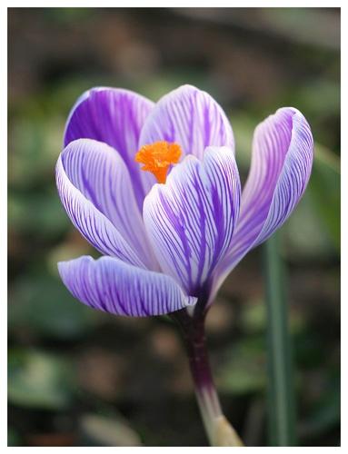 It\'s a flower, and it\'s purple. by SimPick