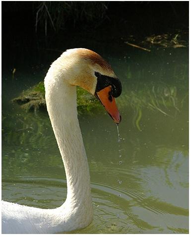 swan by macdaniel
