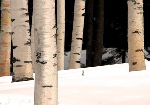 White Birch in the White Mtns by gmontambault