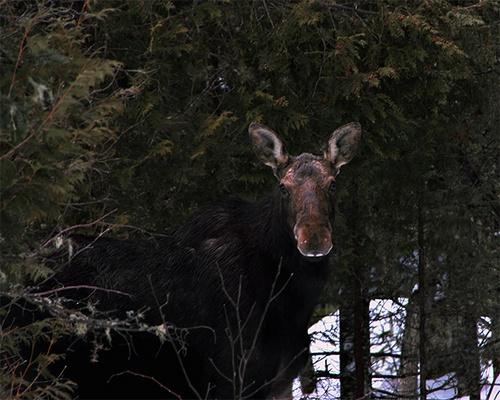Moose II by gmontambault