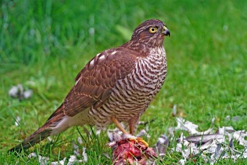 Mrs Sparrowhawk by bpjohn