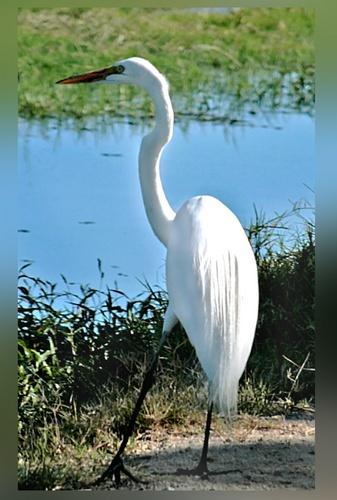 Great Egret by mommy2cutekids