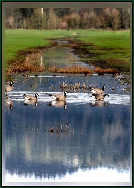 Geese Crossing by mommy2cutekids