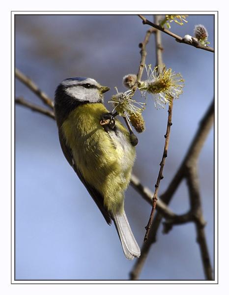 Pollen Beak by SueWB
