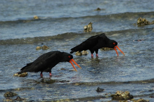 black oystercatchers by TrevorH