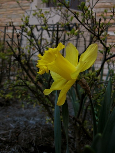 Daffodil by Simplesculler