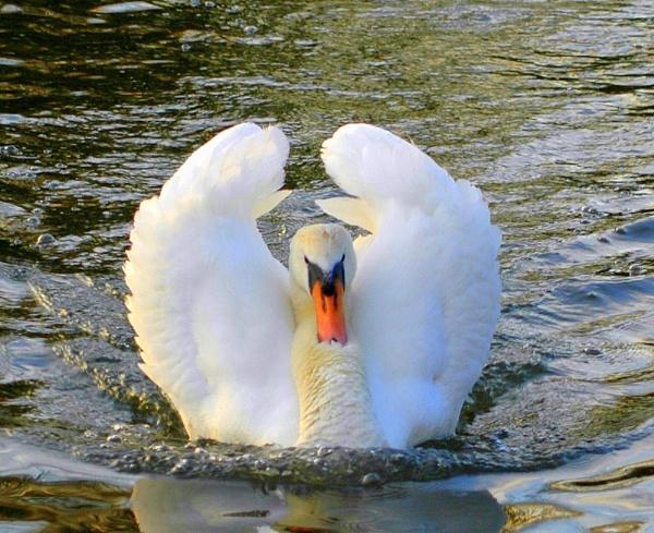 gliding swan by sparklep