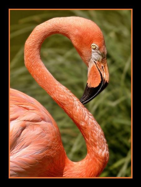 Pretty Flamingo by limmy62