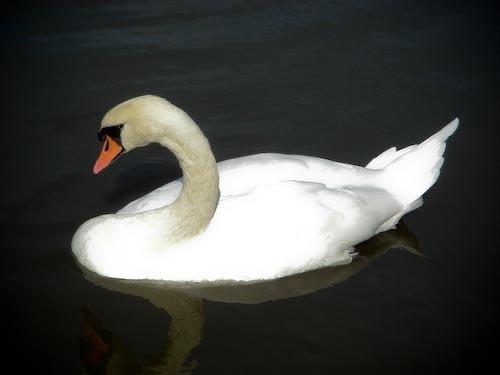 Beautiful Swan by aj14