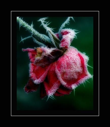 Frozen Rose by bbruno