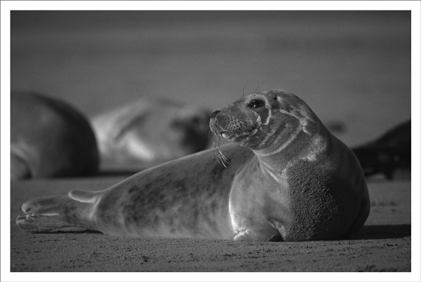 Atlantic grey seal, mono by rontear