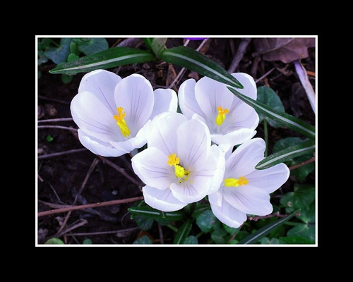 Crocus by nordical
