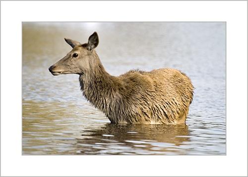 Swimming Deer by sferguk