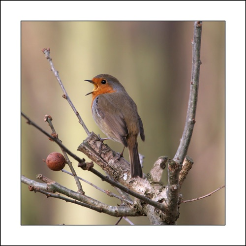 Robin song by Keith-Mckevitt