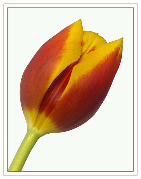 Tulip by vparmar
