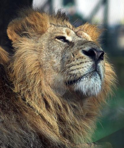 asiatic lion by paul_chong