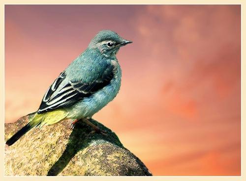 Blue headed wagtail enjoying sunset by Hawkgenes