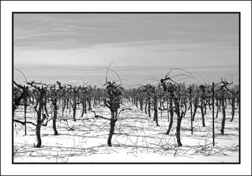 Niagara Vineyard by robertb