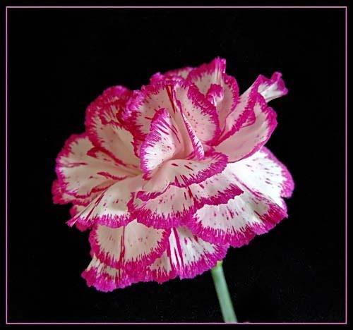 carnation by cramj