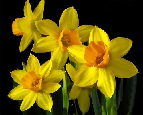 Daffodils II by gmontambault