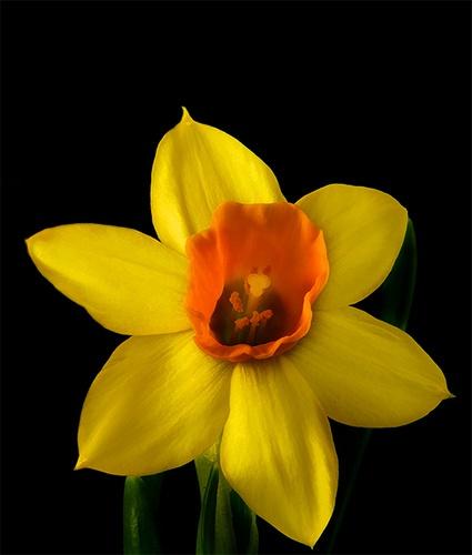 Daffodils III by gmontambault