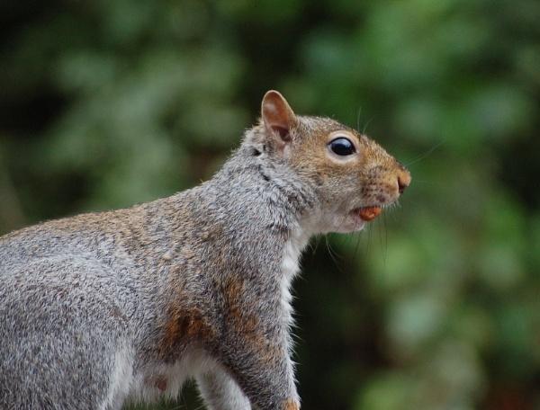 cheeky squirrel by patman