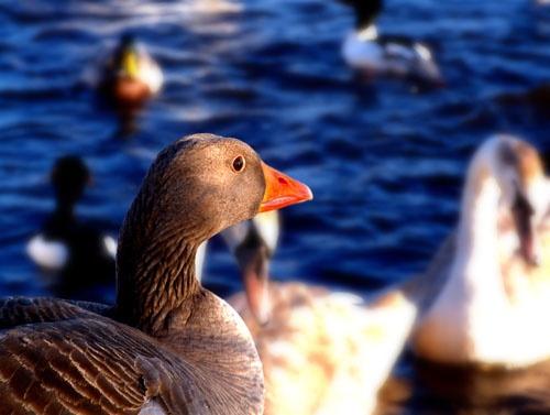 Greylag goose by Juliet