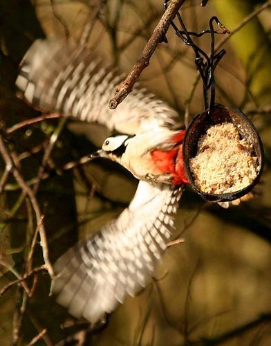 Woodpecker, fleeing the scene! by Gomez