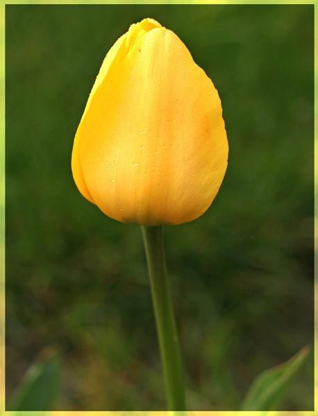 Tulip by mommy2cutekids
