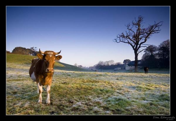 Guernsey Cow by Guernseydan