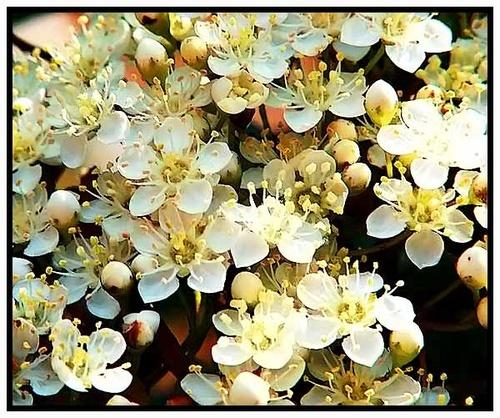 Firethorn Blossom by jackozc