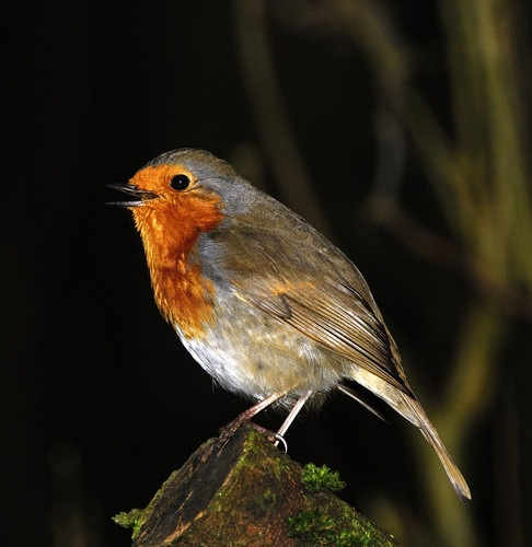 Robin In Song by markb2815