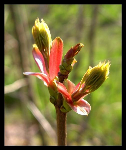 Spring Bud by ewartwilson