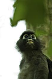 High Tree Monkey