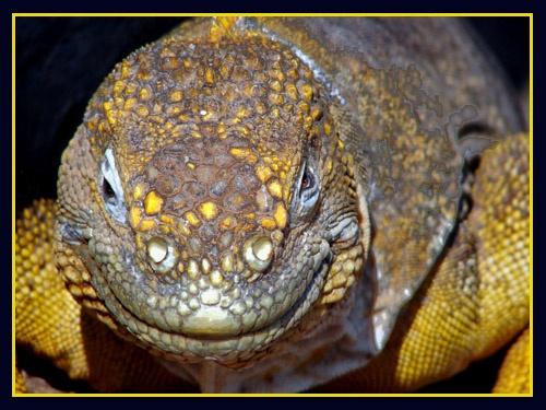 Iguana by Mo_W