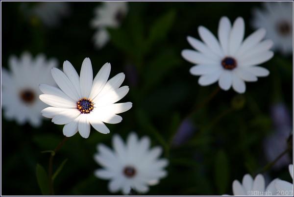 Daisy Spotlight by _Helena_