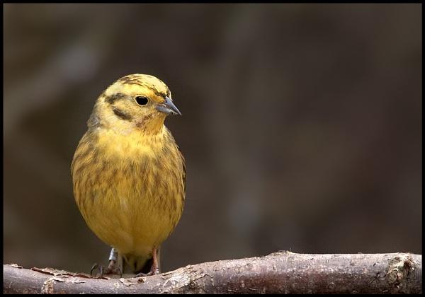 Yellow Bird by cameraman