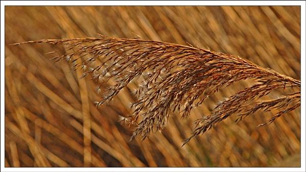 sunlight through the reeds by roseyemma