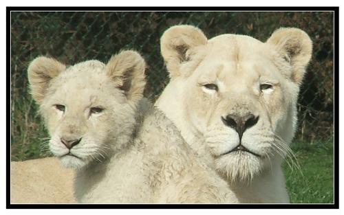 lioness & cub by it happens