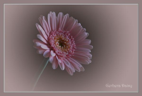 Gerbera Daisy by Aurora