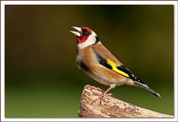Goldfinch III