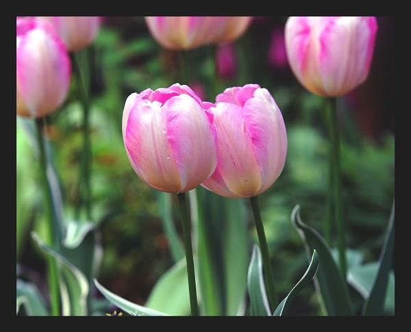 Tulips by WayneG