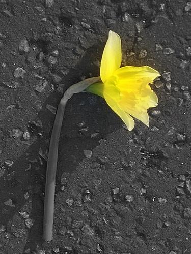 Fallen Daffodil by LauraBeans
