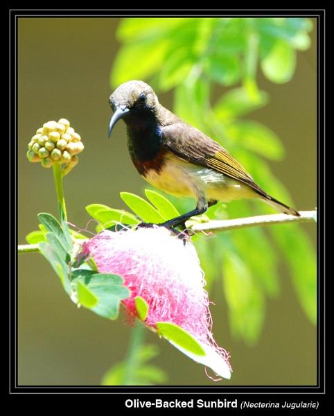 Sunbird by ferguspatterson