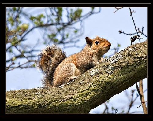 Squirrel by Carl40