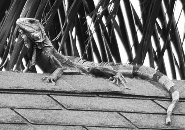 B+W Lizard on Roof by chensuriashi
