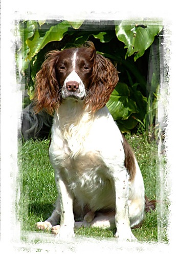 Springer spaniel by southsnapper