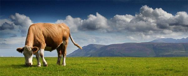Isle of Arran & Cow by becca_cusworth